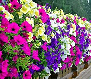 Balkon Hängepflanzen