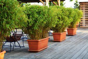 Bambuspflanzen als Sichtschutz