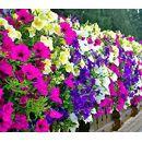 Balkon-Hängepflanzen